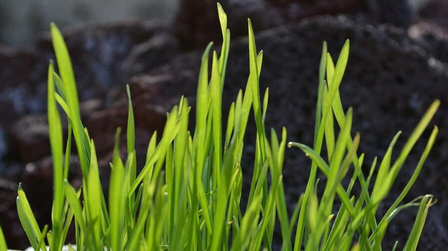 bra vetegräs