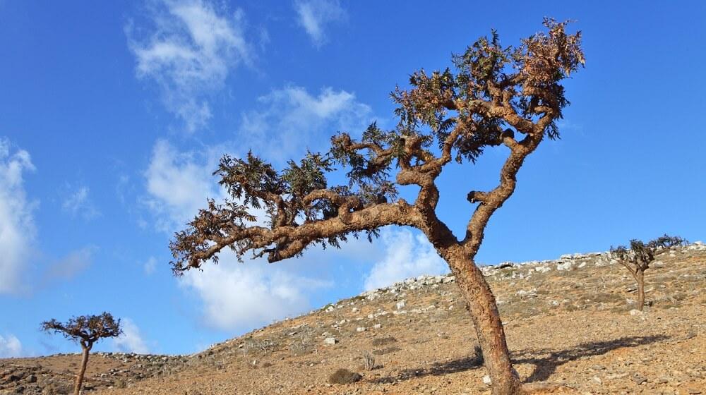 träd som boswellia kommer från